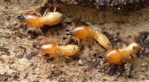رش مبيد النمل الابيض بجدة